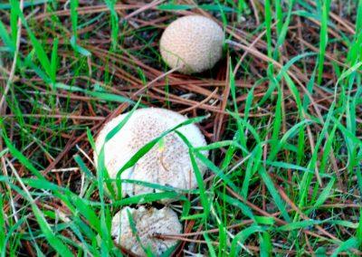 Lycoperdon perlatum (Pedos de lobo)