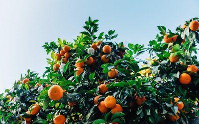 Las naranjas de Demetrio